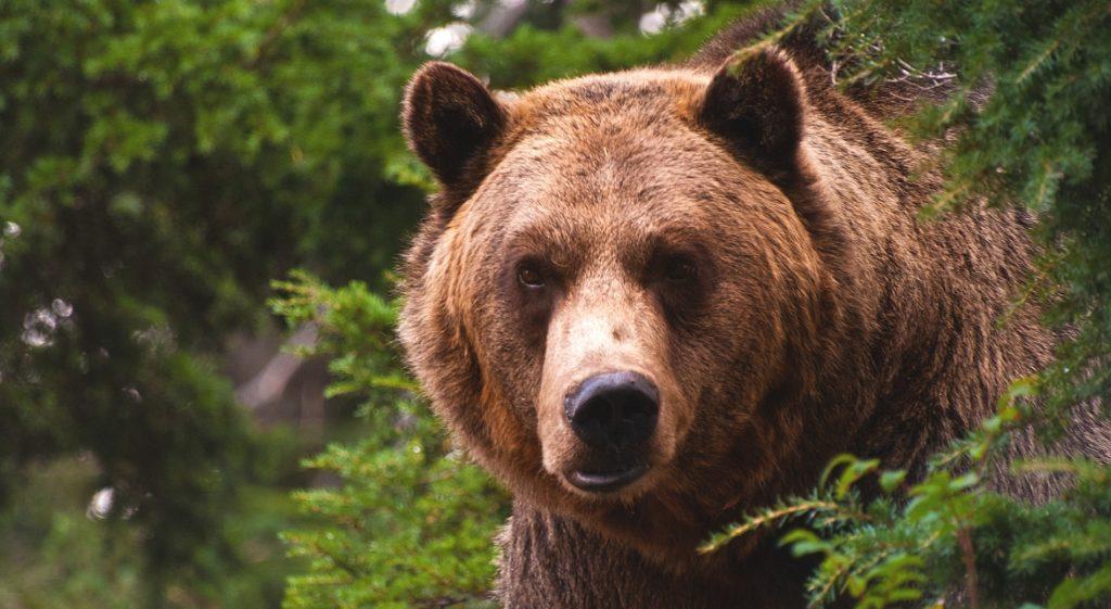 Большинство медведей проживают в лесах