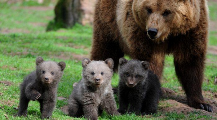 Медвежата вместе с матерью