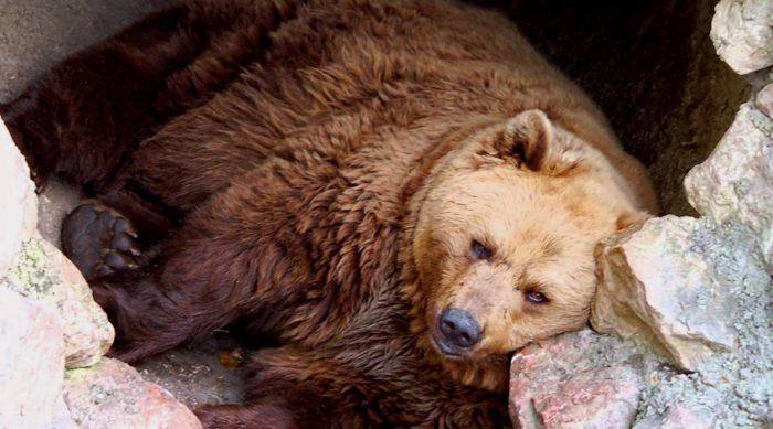 Медведь готовится к спячке в берлоге