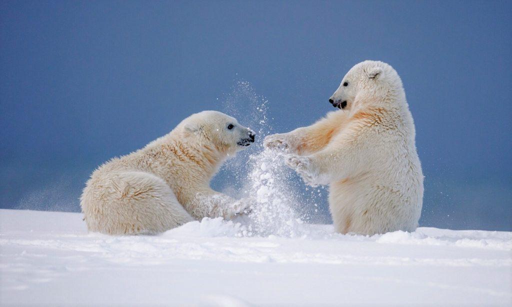 Юные медвежата часто играют друг с другом