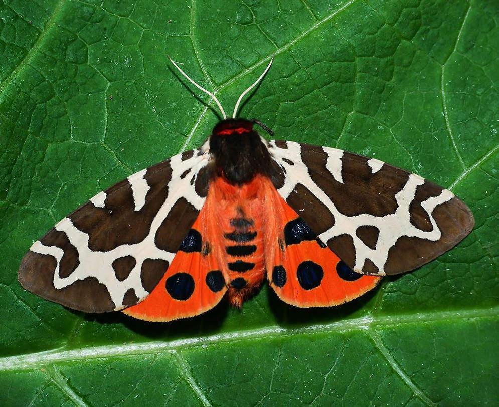Бабочки Медведица (Arctiidae)