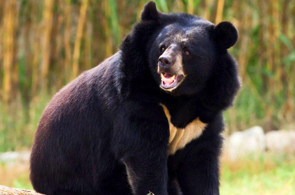 Медведи - основные враги тигров