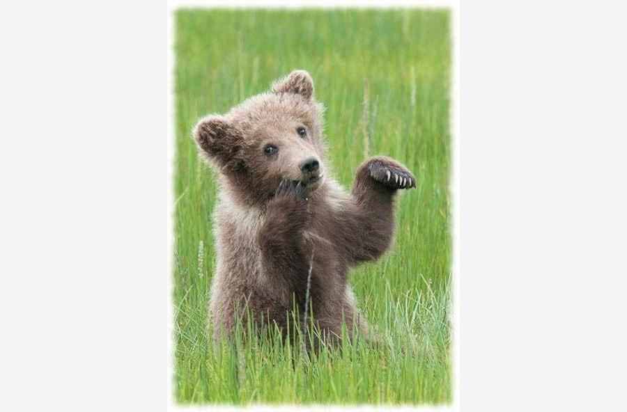 Медвежонок сосет лапу