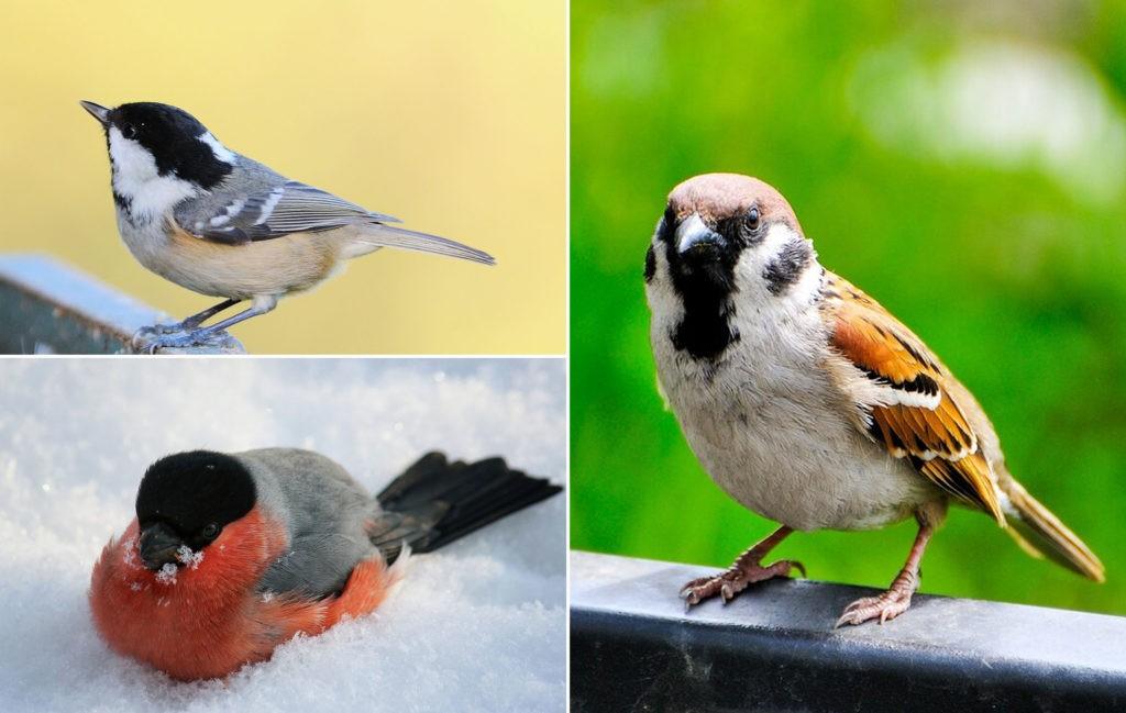 Мелкие травоядные птицы Подмосковья