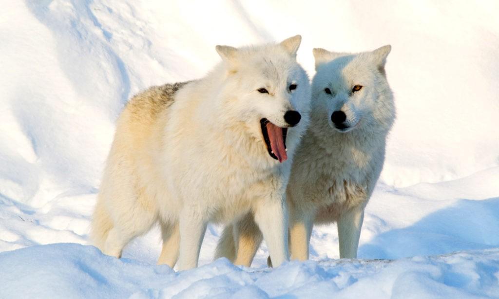 Мельвильский волк