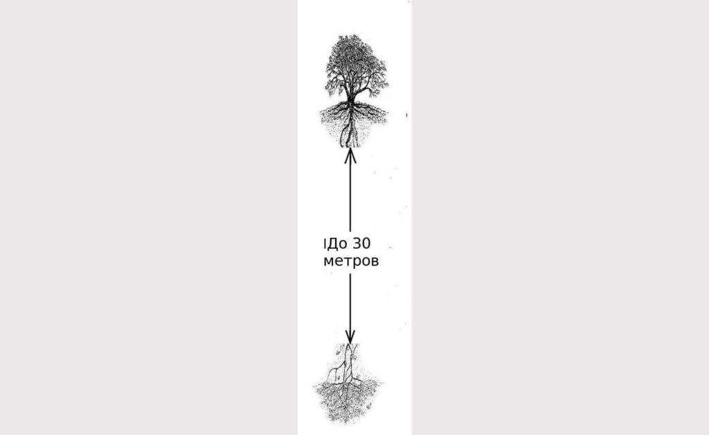 Корень мескитового дерева