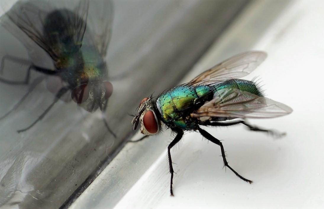 Почему муха продолжает биться в стекло, если рядом открытая секция окна?