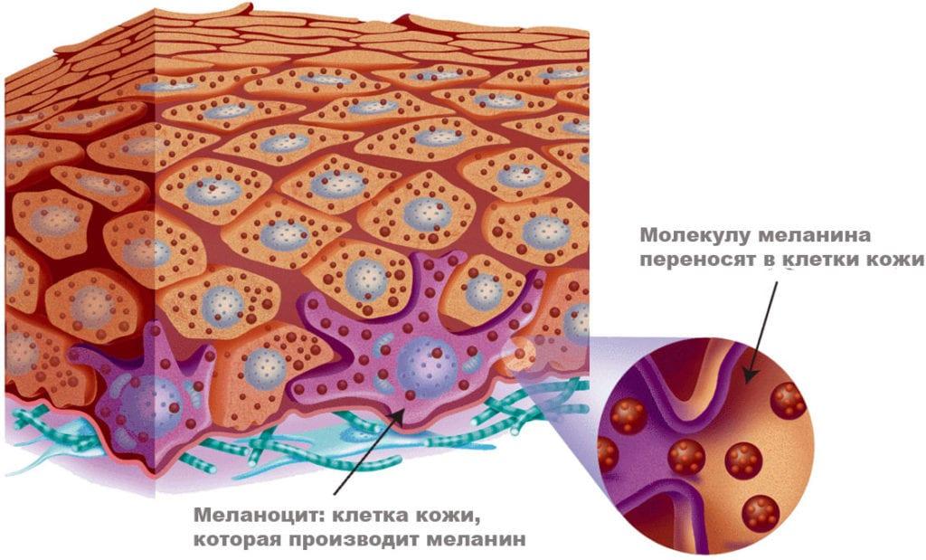 Меланин организма и его влияние на пигментацию