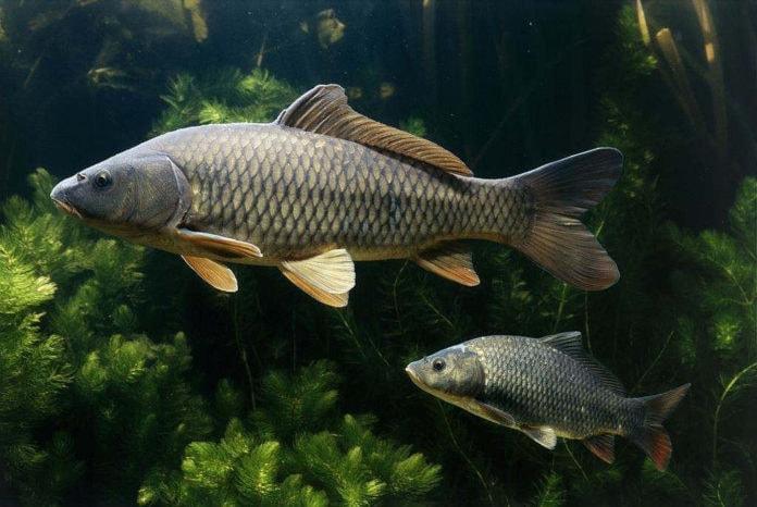 Можно ли определить возраст рыб?