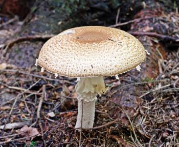 Миндальный гриб