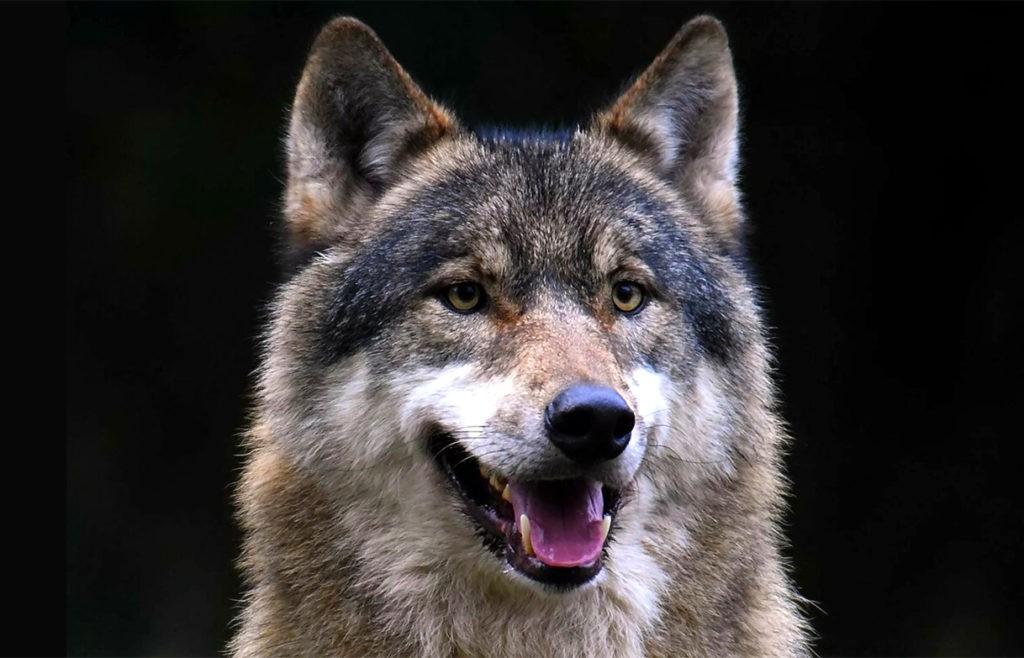 Голова волка крупным планом