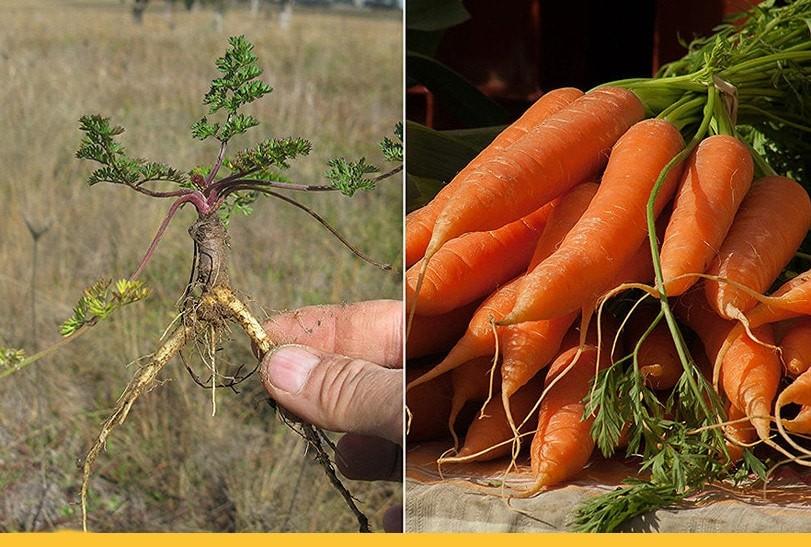 Дикая и окультуренная морковь