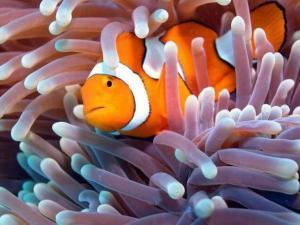 Морской анемон и рыба клоун