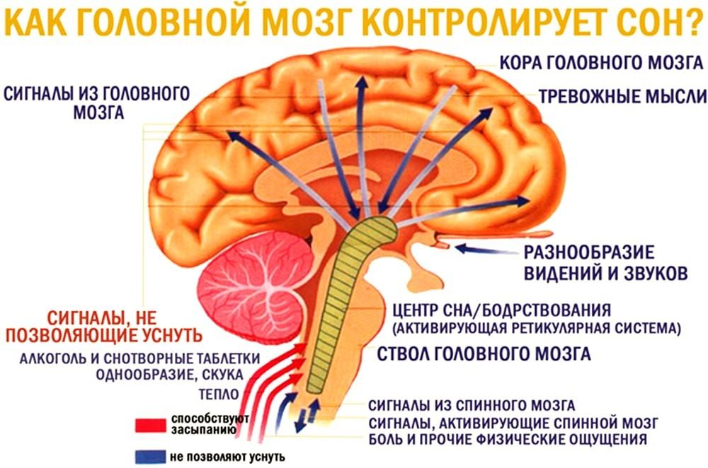 Как мозг контролирует сон