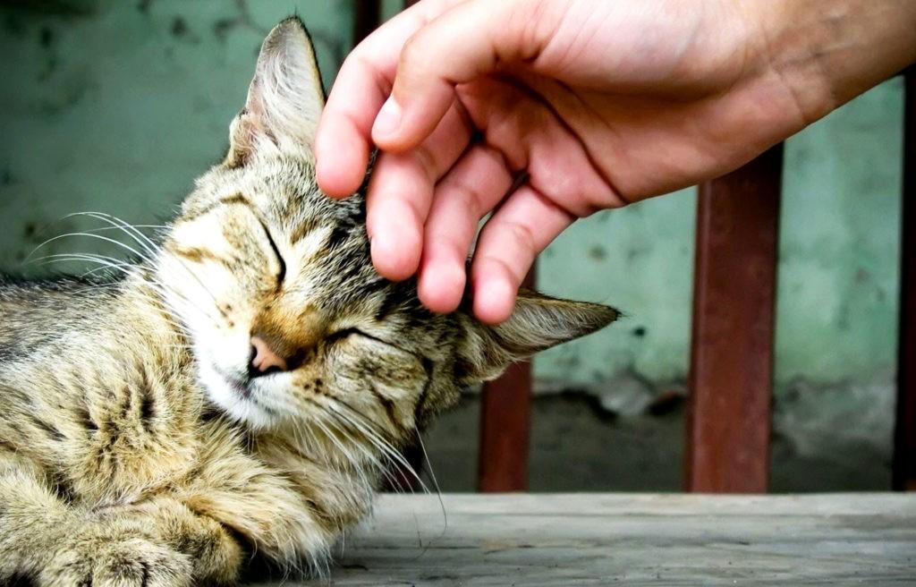 Кошки урчат, чтобы продемонстрировать различные эмоции