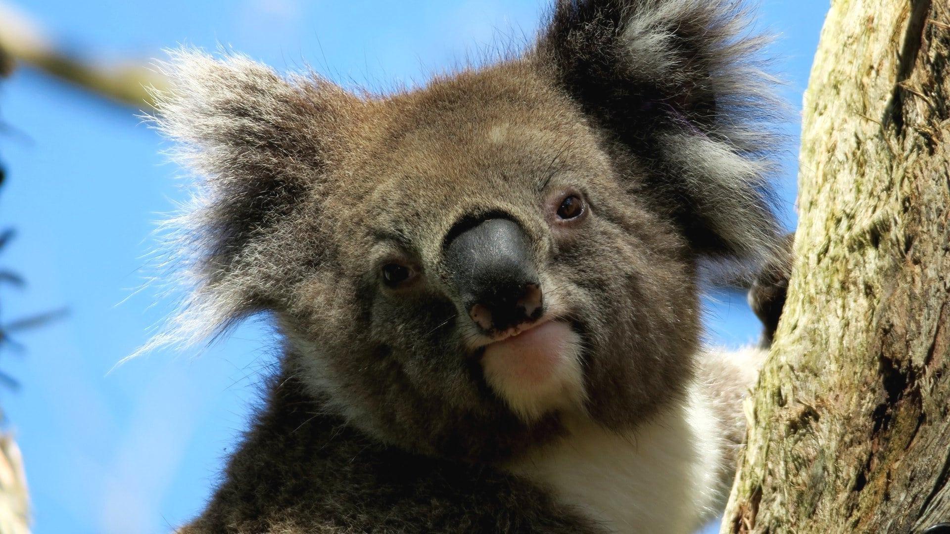 Морда коалы