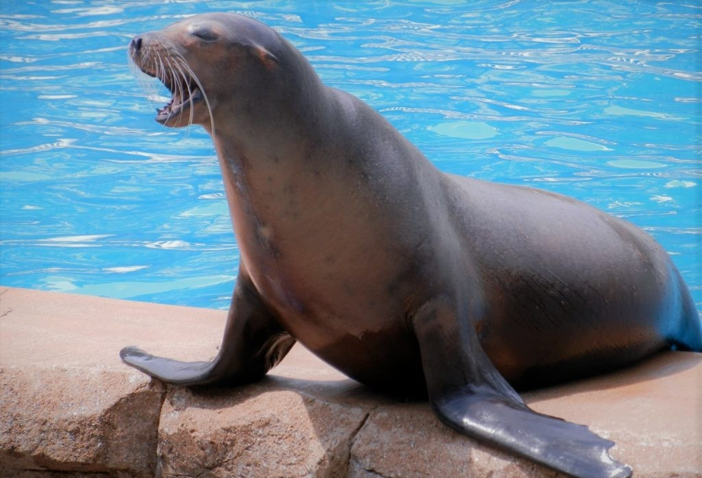 Морской лев - один из естественных врагов рыбы луны