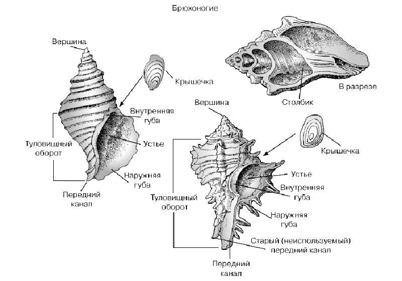 Структура раковины