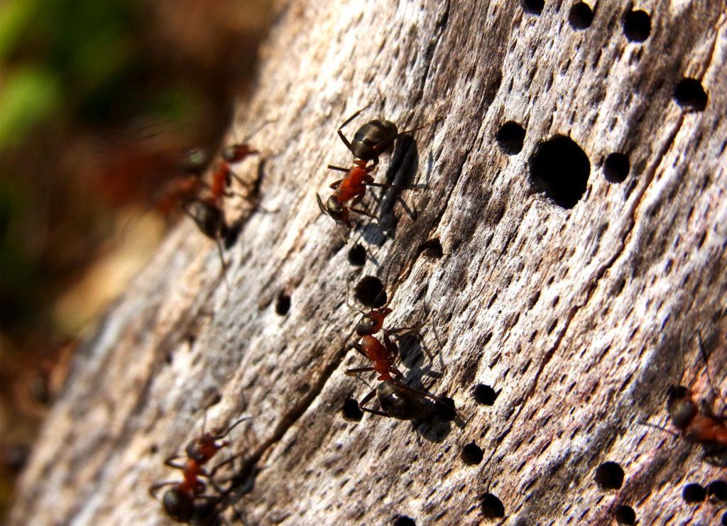 Муравьи-древоточцы селятся в полостях деревьев