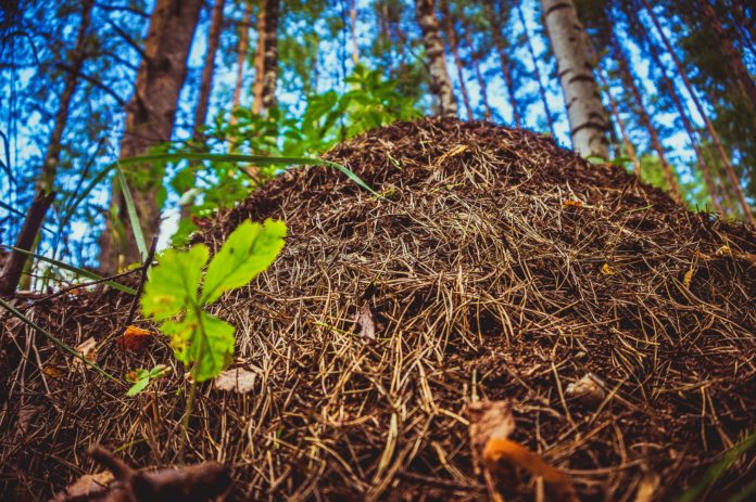 Сколько муравьев в муравейнике?