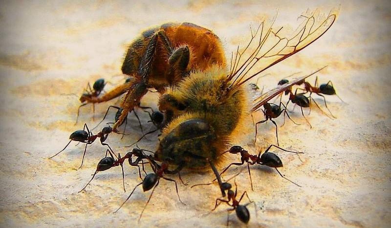 Муравьи являются главными врагами для шмелей