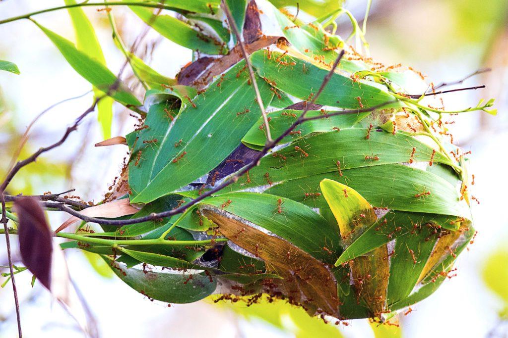 Гнездо муравьев-ткачей