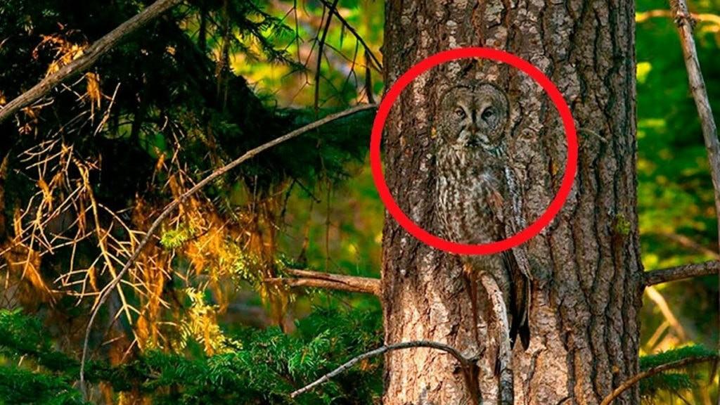 Маскировка у совы