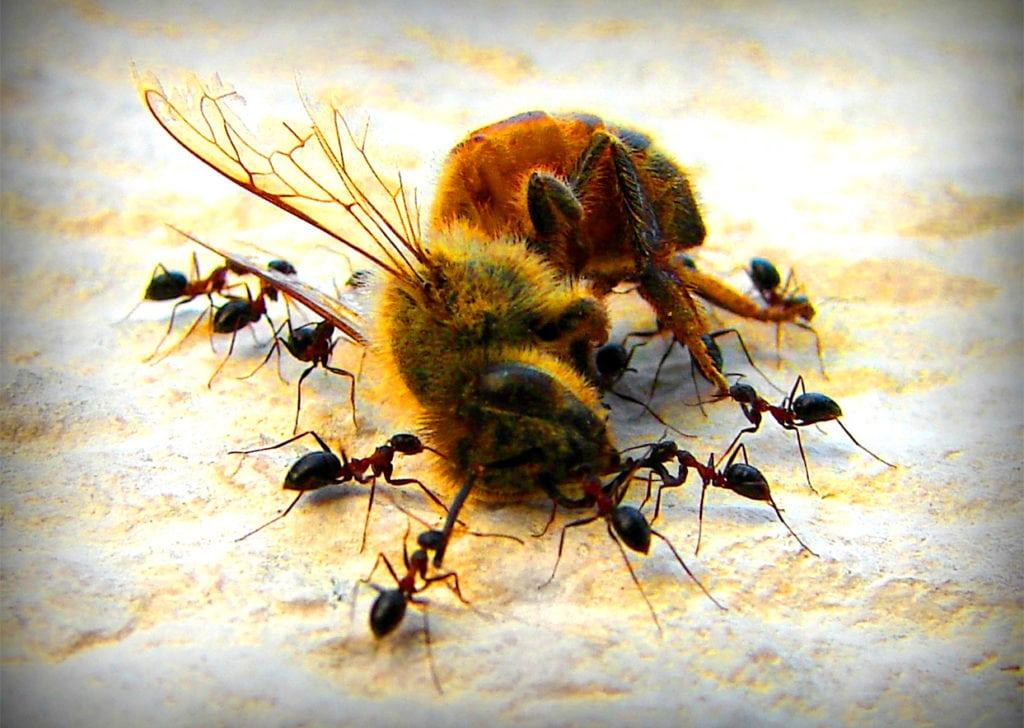 Муравьи - естественные враги пчел