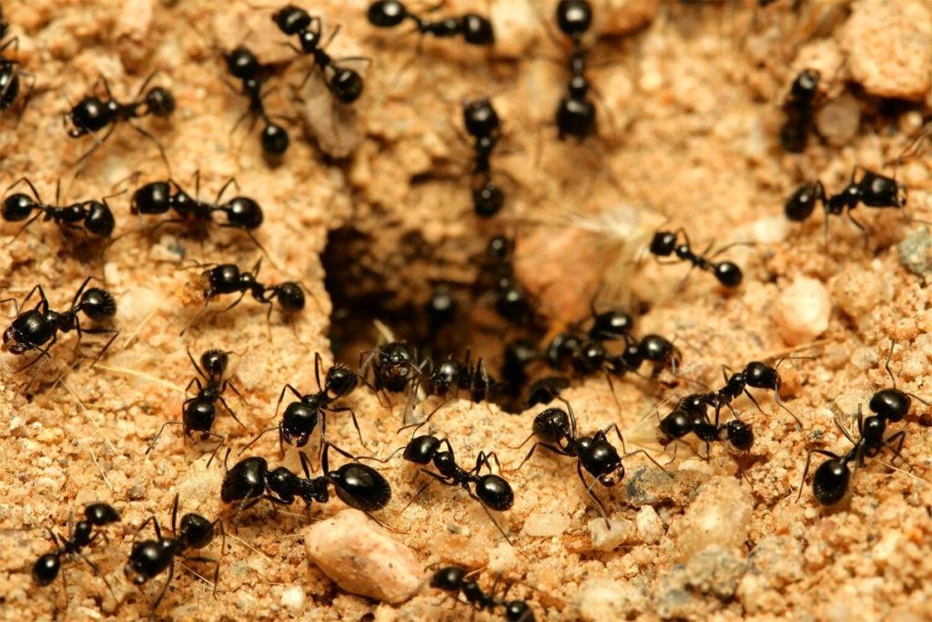 Муравьи покидают муравейник