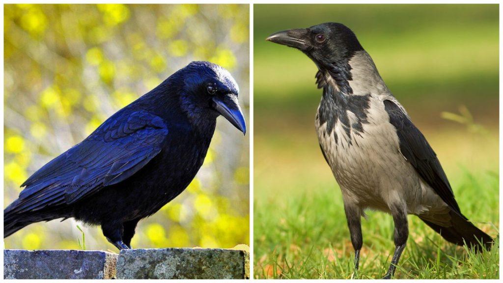 Ворон и ворона
