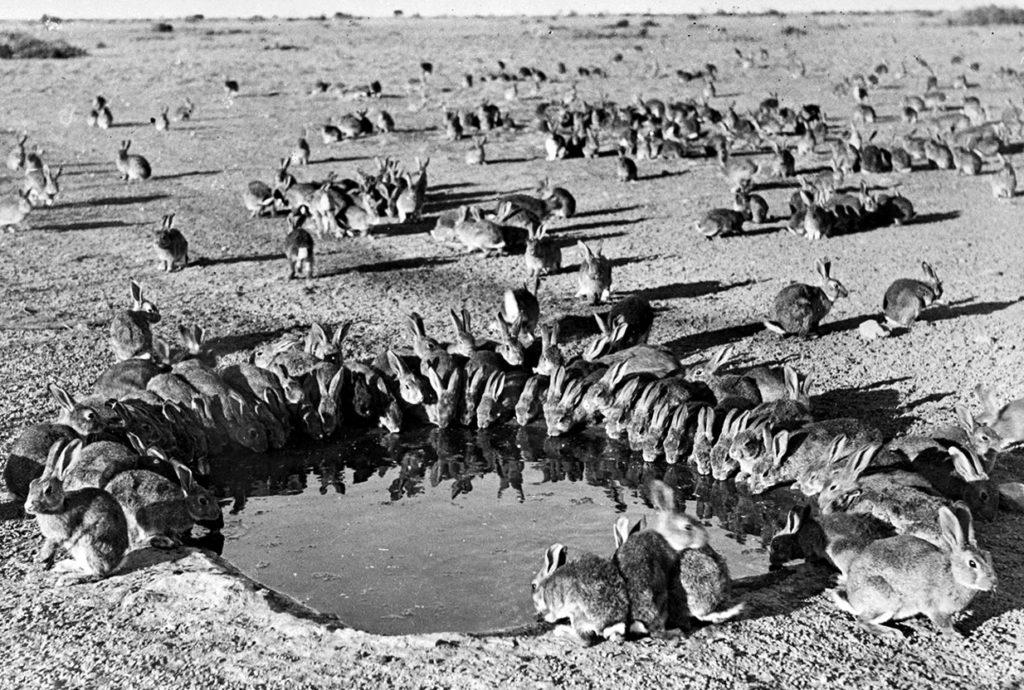 Нашествие кроликов в Австралии, 1938 год