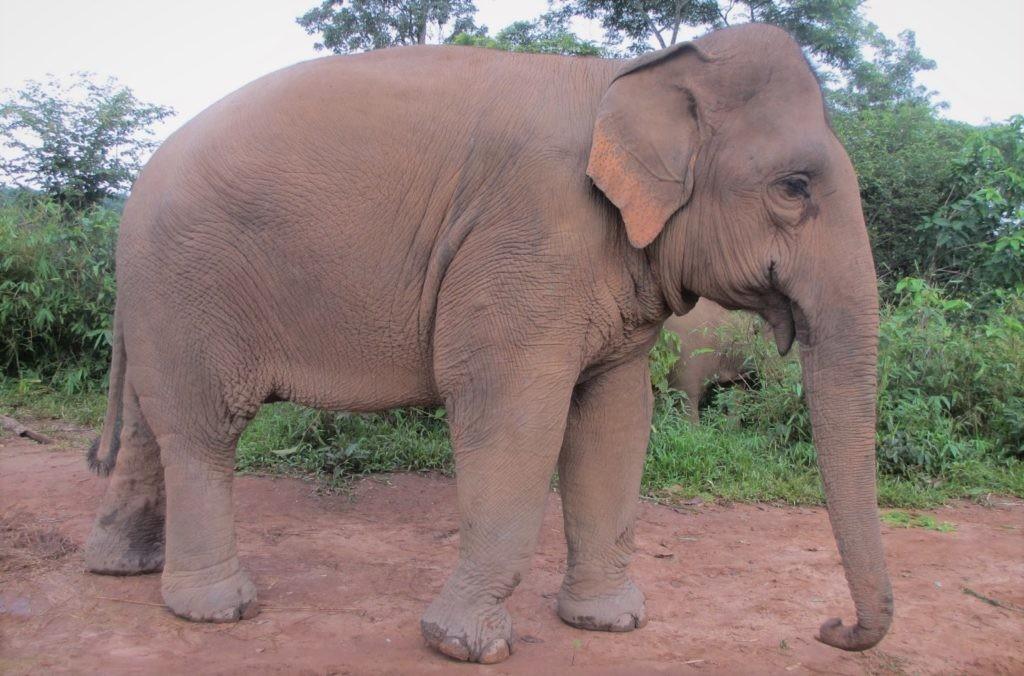 Индийский слон может весить до 5 тонн