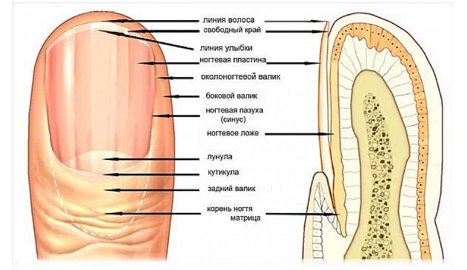 Структура ногтя человека