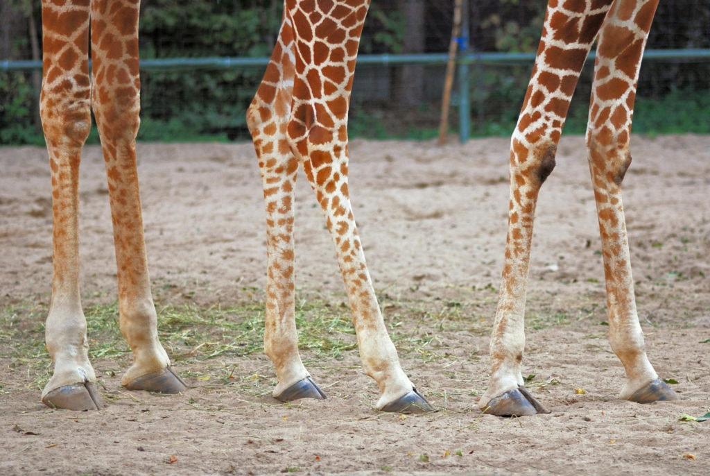 Ноги жирафа