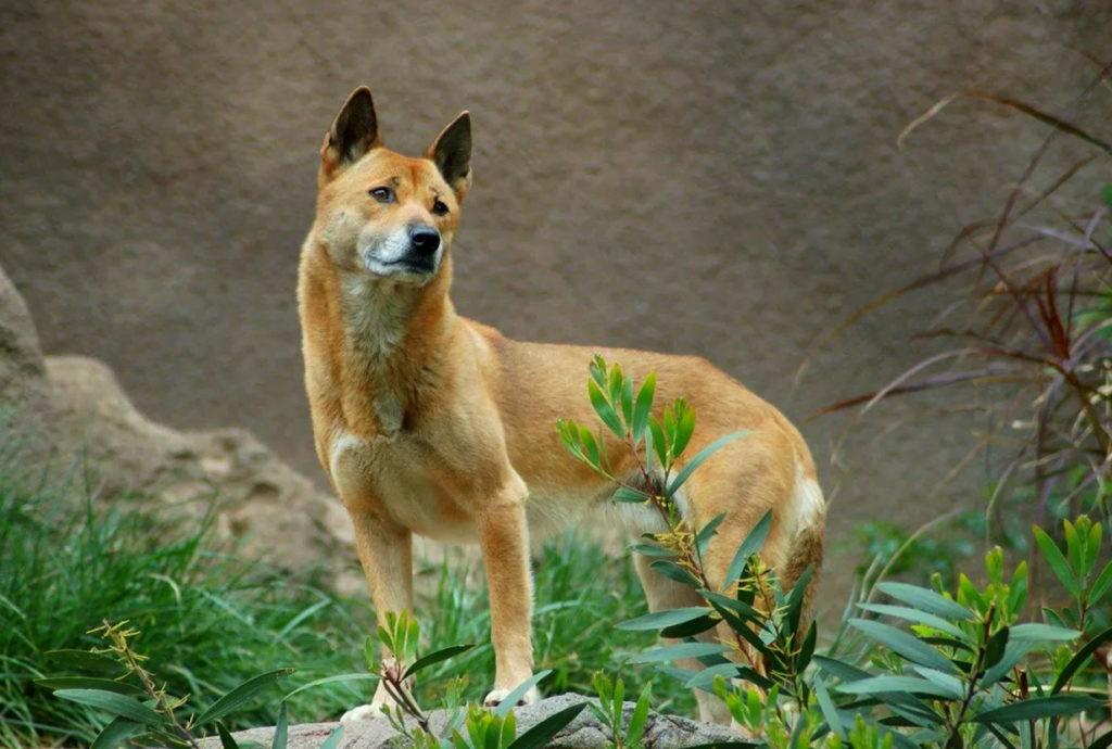 Собака новогвинейская поющая