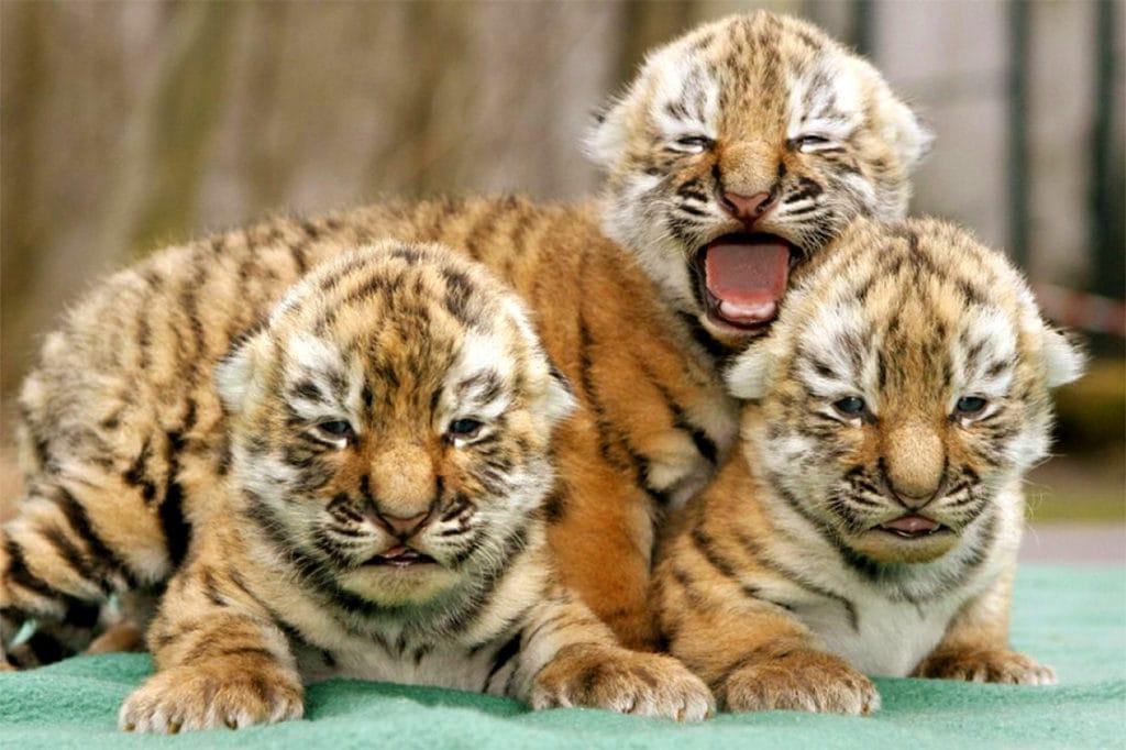 Новорожденные тигрята