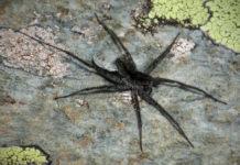Зоологи открыли новый вид аранеоморфных пауков