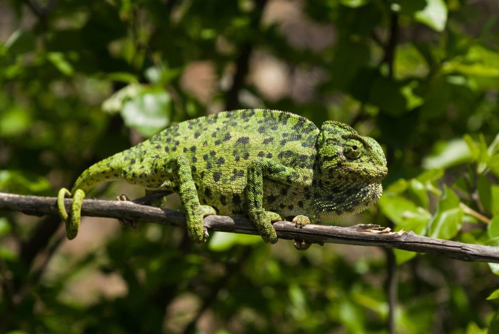 Обыкновенный хамелеон