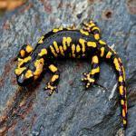 Саламандра огненная (пятнистая)