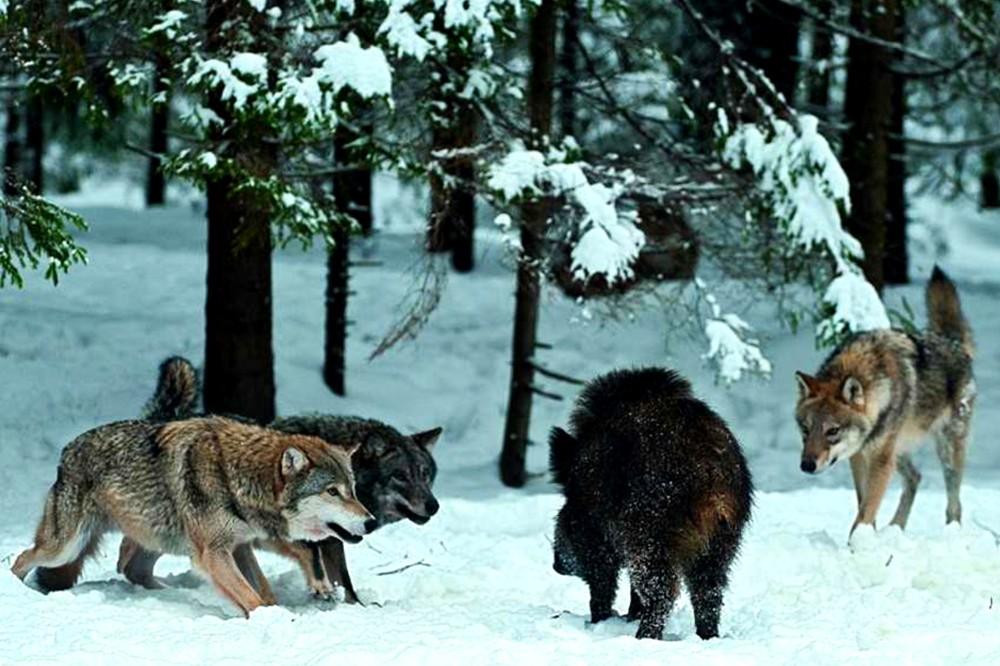 Стая волков на охоте