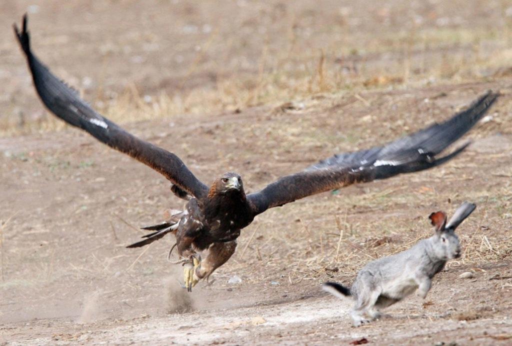 Охота орла