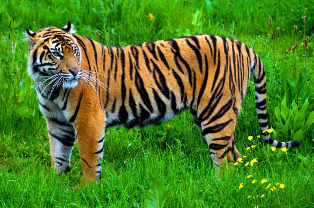 Классический окрас тигра