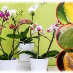 Почему желтеет орхидея?