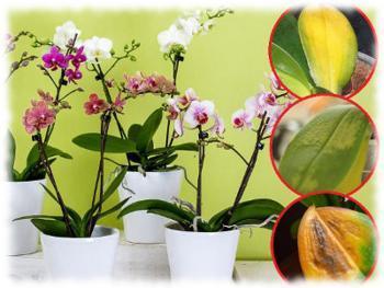 Почему желтеют листья орхидеи?