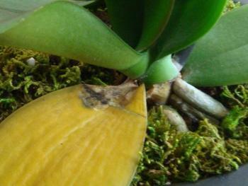 Процесс естественного отмирания старого листа орхидеи
