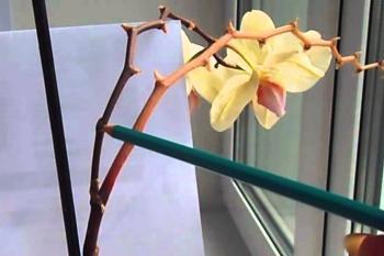 Пожелтевший цветонос орхидеи