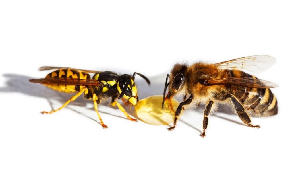 Сравнение осы и пчелы