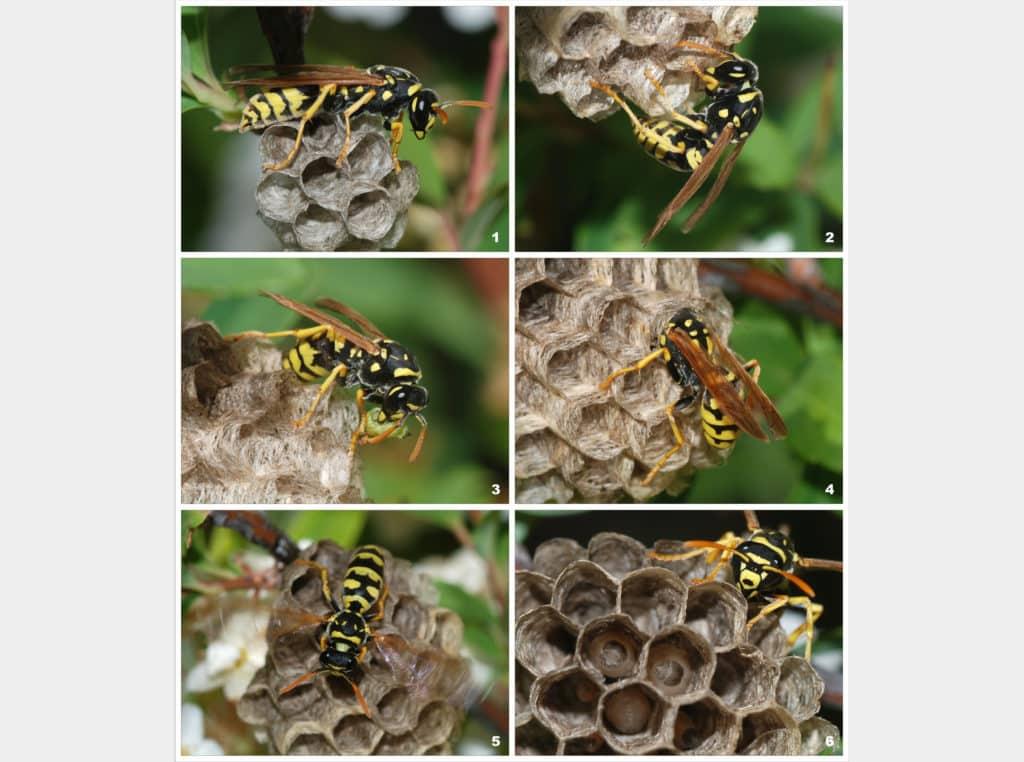 Молодая самка бумажной осы Polistes dominula начинает новую колонию
