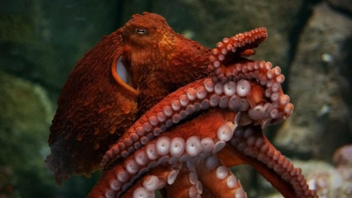 Установлено, что щупальца осьминогов принимают решение о том, куда и как им двигаться, сами