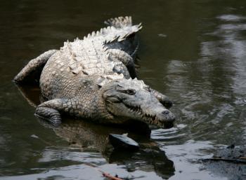 Острорылый американский крокодил
